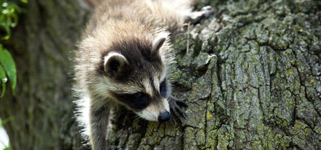 Did you know that raccoons can remember solutions to tasks for up to 3 years? Find out more about these impressive creatures! #AETN #BeMore: Outwit Raccoons, Raccoons Peek, Raccoons National, Guys Visit, Animal 3, Raccoons Facts, Facts Sheet, Baby Raccoons, Raccoons Fs Ip