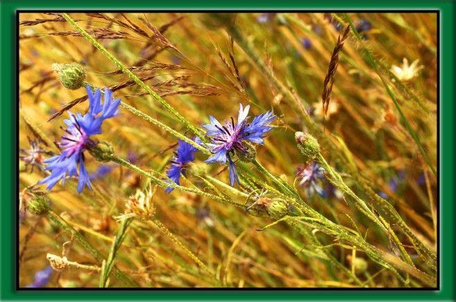 Chaber bławatek - dla jednych piękny kwiat ozdobny, dla rolników niestety uporczywy chwast w uprawach roślin. Zachęcamy do tekstu: http://innvigo.com/chaber-blawatek/