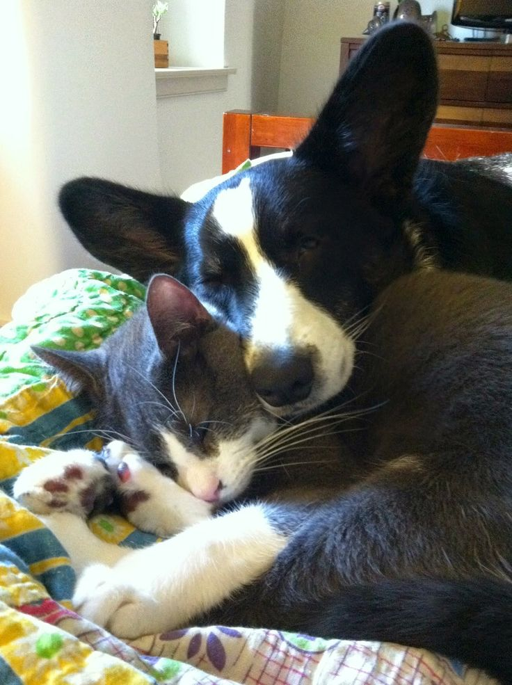 85 Best Corgis N Cats Images On Pinterest Corgi