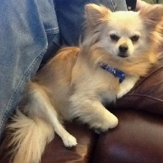 13 Best Images About Pomchi On Pinterest Chihuahuas
