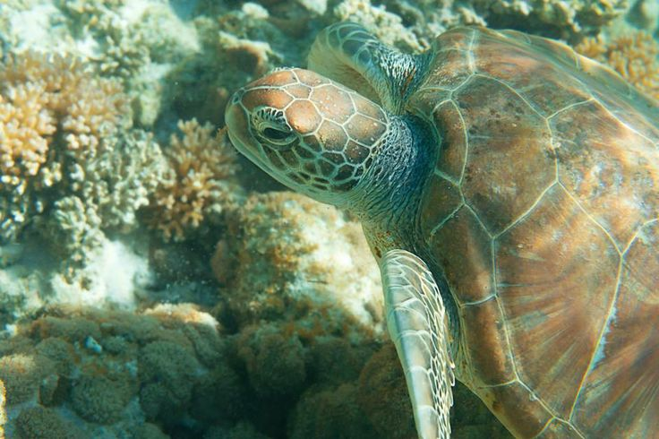 Love this turtle  Photo by Port Pirie, South Australia, Australia on Lady Elliot Island.