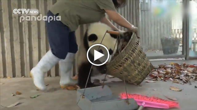 Vogliono solo giocare. I due cuccioli di panda ne combinano di tutti i colori, mentre un'operatrice dello zoo cerca di sistemare il loro recinto....