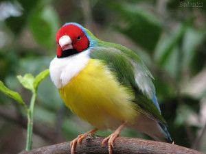 Charles Fonseca: Pássaros brasileiros