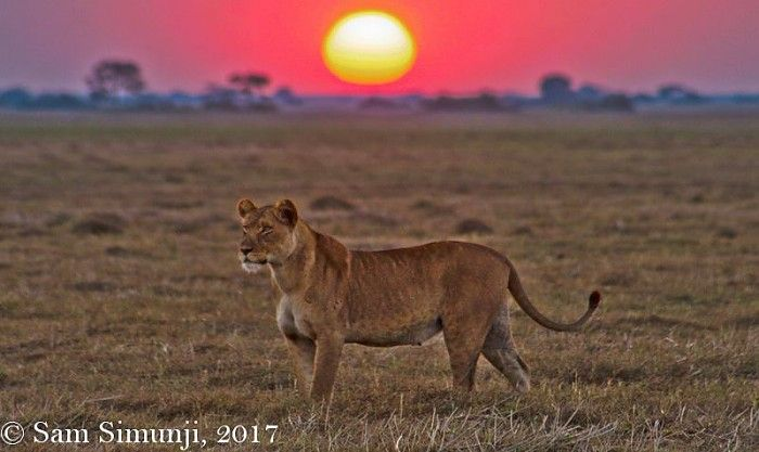 Busanga Bush Camp guide Sam reports on a few of his recent extraordinary sightings - from the swimming and playing 'swamp lions' of the Papyrus Pride to the 'Killing Machine' on a kill, a particularly beautiful hot-air balloon flight and the impressive sable and roan seen around our area...