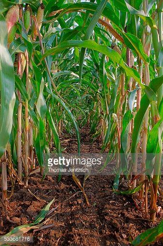 Photo : Corn field, near Bad Düben, Saxony, Germany, Europe