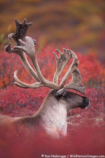 Bull Caribou in Denali National Park, Alaska Rangifer tarandus