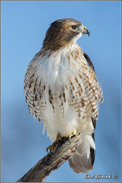 Best 25 hawks ideas on pinterest fish hawk red tailed for Fish hawk atlanta
