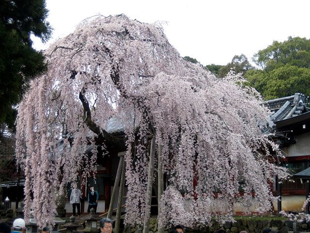 les 25 meilleures id es de la cat gorie fleurs de cerisier japonais sur pinterest fleur de. Black Bedroom Furniture Sets. Home Design Ideas
