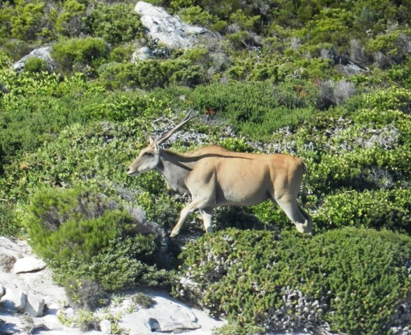 Eland, Cape Point National Park, Cape Town, South Africa