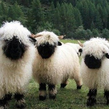 cute sheep images | am a sheep. Like the fluffy blobs of wool sprinkled across fertile ...