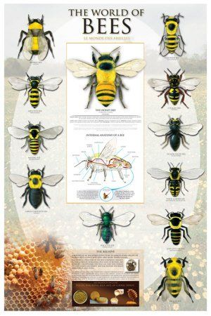 Bees - Types of Bees - Apoidea - Beekeeping - Education Poster 24x36