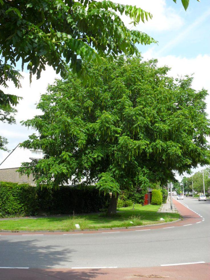 Huge tree, Aldlân, July 2016.