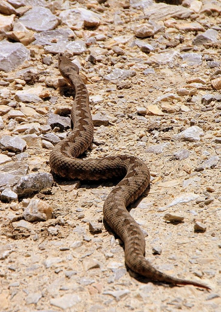 Vipera ammodytes - venomous snakes - horned viper