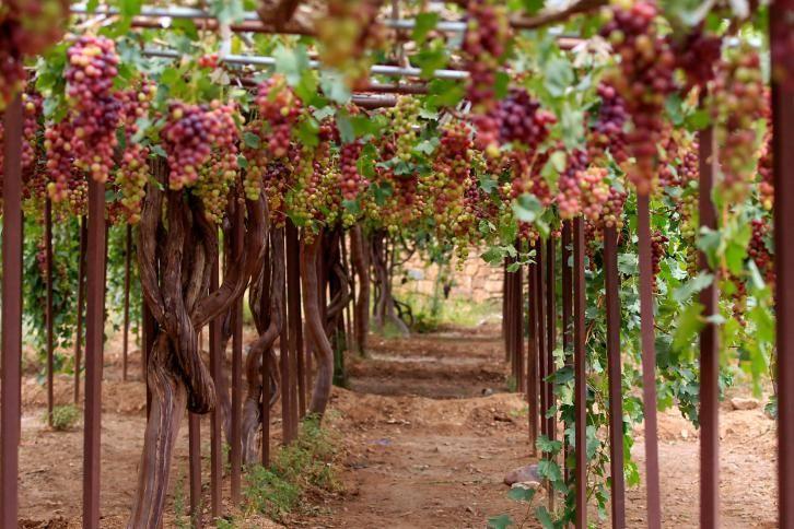 و فوائد العنب تخمير العنب مربي العنب حقول العنب في صنعاء عصير العنب Love Lies Bleeding Plants Flowers