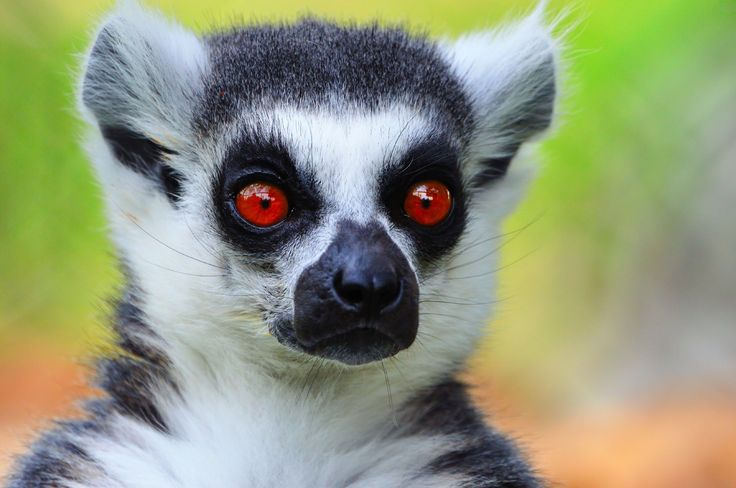 "The Strepsirrhini suborder contains the following infraorders: Lemuriformes (LEMURS), Chiromyiformes (the AYE-AYE LEMUR), and Lorisiformes (GALAGOS, LORISES, & POTTOS). Distinctive characteristics of strepsirrhines include: a ""wet nose"" (i.e. rhinarium), large olfactory lobes, a vomeral nasal organ for detecting pheromones, a reflective tapetum lucidum layer in the eye which provides better nocturnal vision, a postorbital bar bone that runs around the eye socket, & a tooth comb."