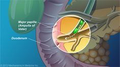 Bile from the gallbladder also enters the duodenum at the major papilla.slide show: the role and anatomy of the pancreas. this slide show describes the role and anatomy of the healthy pancreas, as well as its exocrine and endocrine functions.