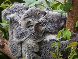 Koala Bears | Fun Animals Wiki, Videos, Pictures, Stories