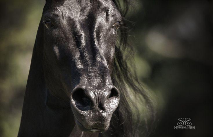 Paso Fino Stallion - Horse Haven, Poplarville MS