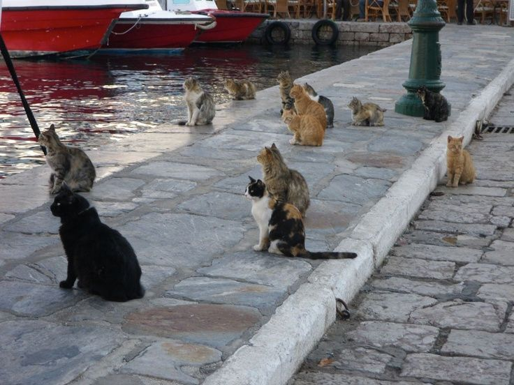 cats of hydra greece waiting for dinner from the boats.