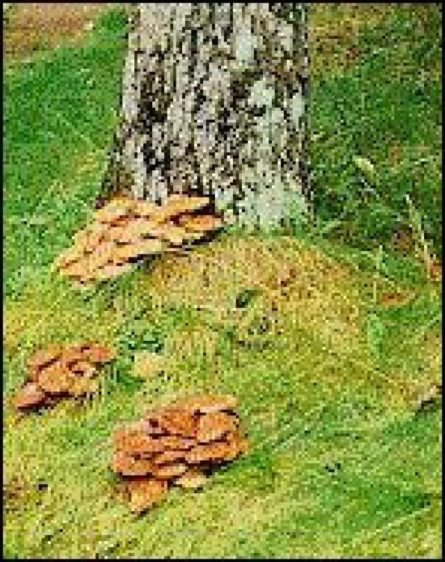 32 Common Tree Diseases in the US: Amillaria Root Rot