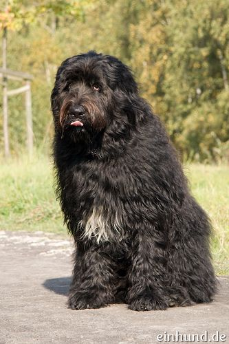 Schwarzer Russischer Terrier Locke (Black Russian Terrier)