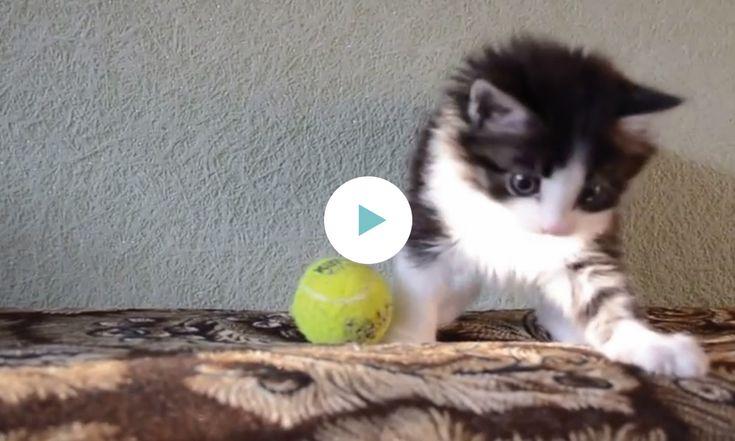 Deze kitten speelt met een tennisbal alsof het zijn beste vriendje is. En hij maakt zelfs zijn eerste koprol, op 00:26. Prachtig potje poezentennis dit. Of is het eerdervoetbal? Lief is het in elk geval! Bron: YouTube