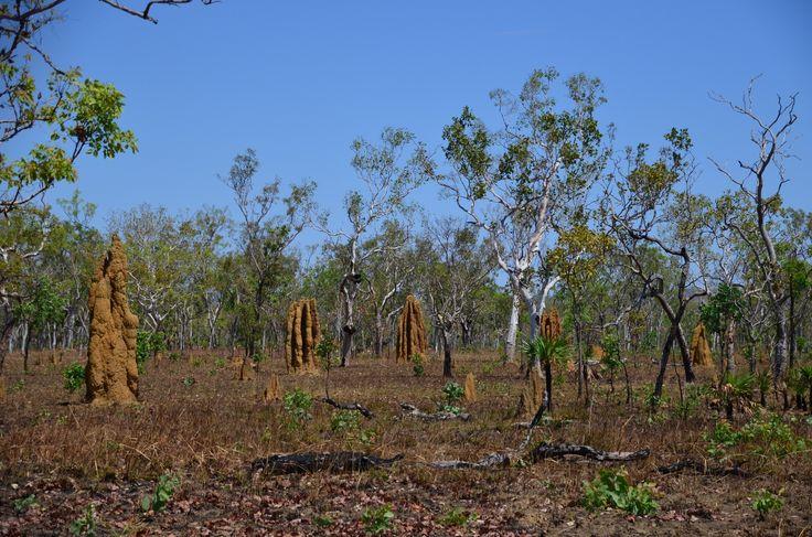Termeszvárak Darwin közelében