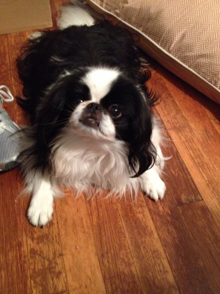 Did somebody say treats?! Japanese chin, Cute baby