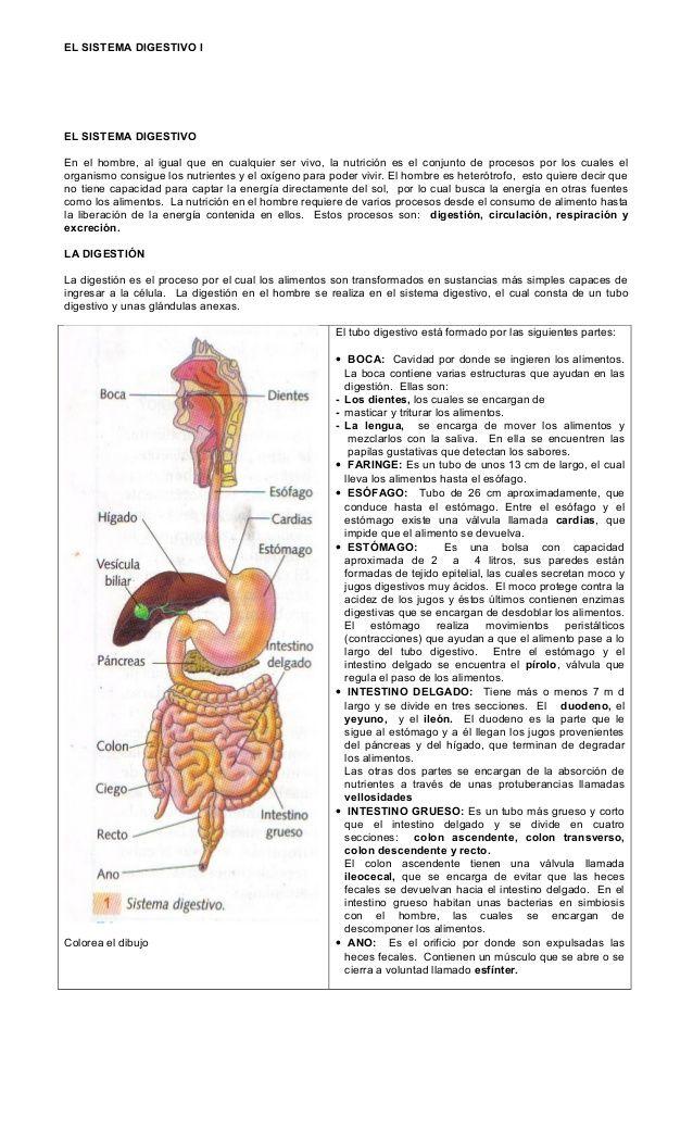 Taller - sistema digestivo humano