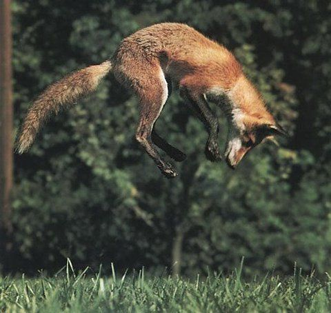 Watched one do this in Georgia once... and my silly shepherd mix do it in the snow to catch volls.