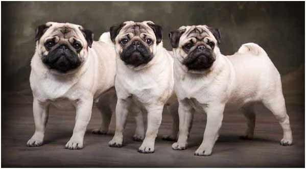PugsBreakfast Casseroles, 3 Pugs, Animal Nature, Awesome Pugs, Dogs, Pugs Pugs Pugs, Pugs Trio, Pugs Life, Animal Pets
