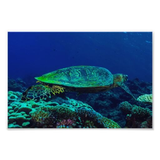 This beautiful photo print shows a Hawksbill Sea Turtle at home in the clear blue waters on Australia's Great Barrier Reef. #turtle #turtles #hawksbill #ocean #sea #nature #wildlife #seaturtle #hawksbillseaturtle
