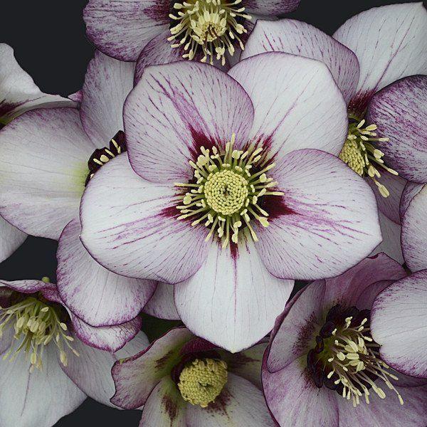 148 best gardening helleborus images on pinterest rock garden