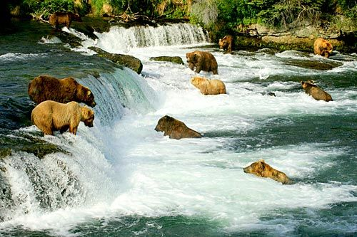 Grizzly bears fishing.