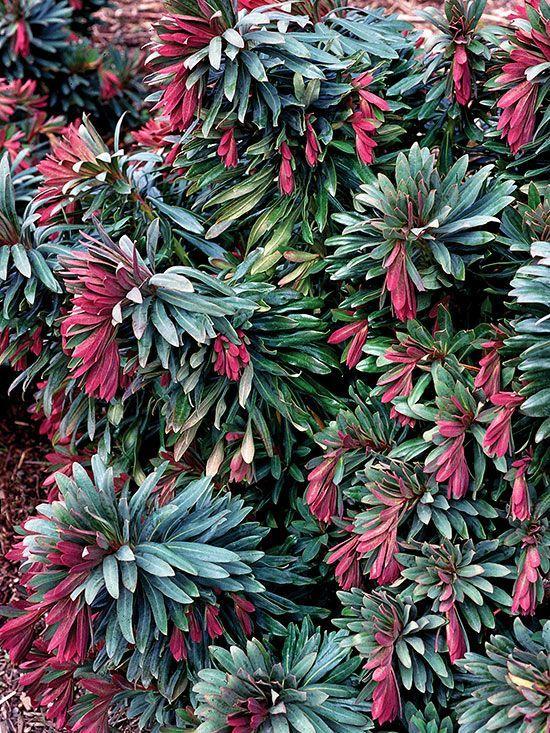 621 besten plant id perennials 2 bilder auf pinterest for Evergreen pflanzen