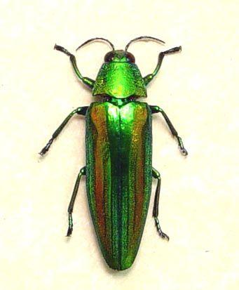 chrysochroa baudoni real framed jewel beetle green beetle rainbow ..