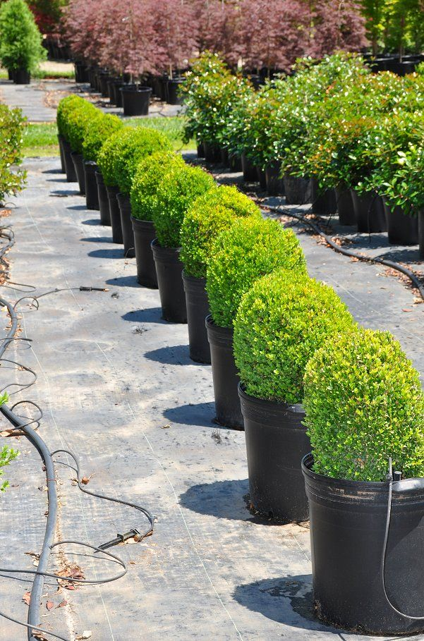 """Dwarf English boxwood 15.99 - 20% evergreen, sun but shade from hot afternoon sun grows 1-2"""" per year. Plant in spring, in well-drained, sandy loam, at a high spot in the garden, or it can suffer from root rot."""