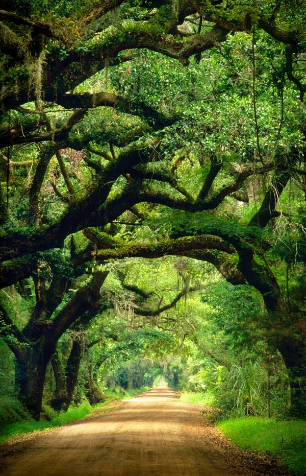 Tunnel of Oaks....I would probably never get a tattoo but if I did it would be of an oak tree.