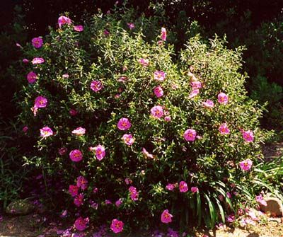Orchid rockrose (Cistus purpureus)The orchid rockrose is a compact grower. It will tolerate wind and salt spray.4' x 5'. will tolerate drought
