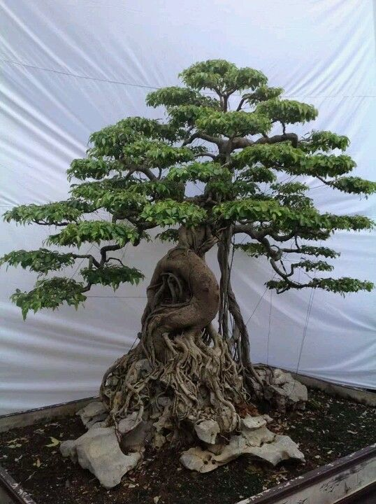 Ficus Bonsai in Root Over Rock style