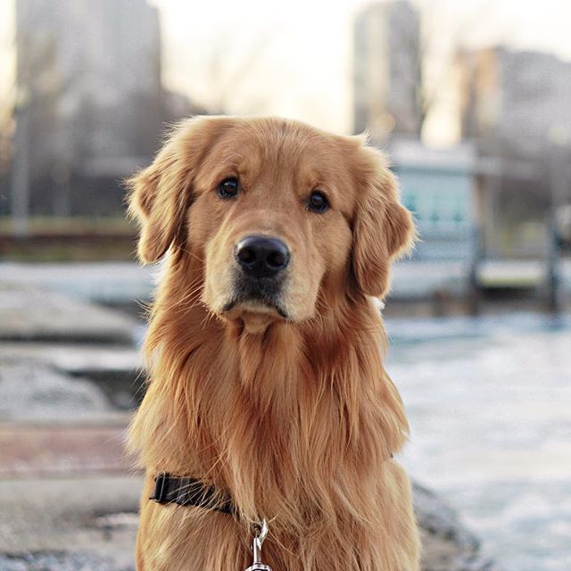 buying a golden retriever 1000 ideas about golden retrievers on pinterest 5140