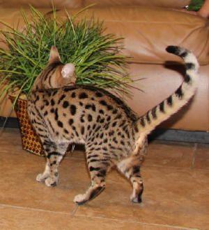 F3 Queens | F3 Savannah Cat | Select Exotics
