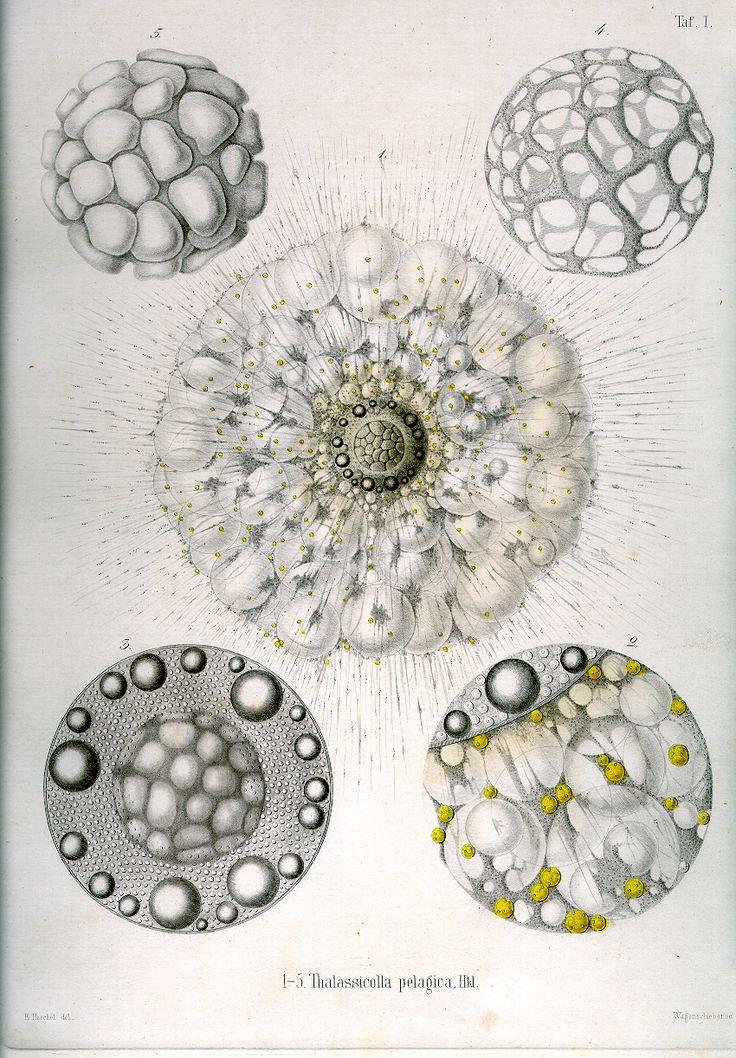 Resultados de la Búsqueda de imágenes de Google de http://www.biologie.uni-hamburg.de/b-online/radio/Tafel_01.jpg