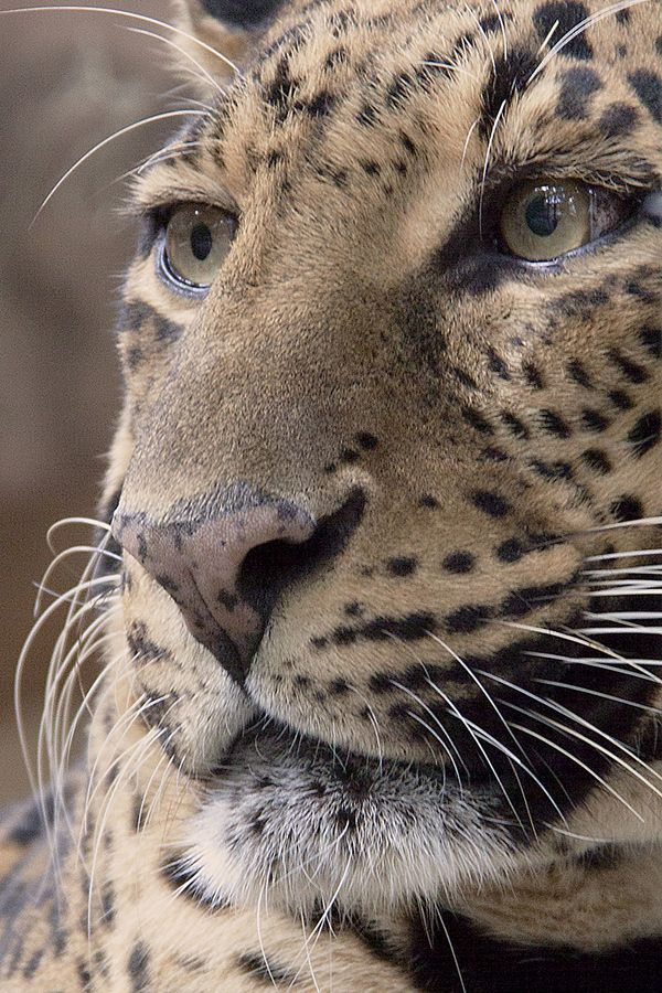 leopardAnimal Pics, Wild Animal, Big Cat, Animal Baby, Snow Leopards, Nature Pictures, Baby Animal, Real Beautiful, Beautiful Creatures