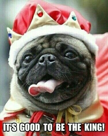 💚 The Humble Pug 💙  💥  💥  #pugpower #blackpug #cutedog #instadog #pugnation…