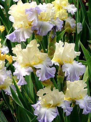 IrisesIris Flower, Beautiful Flower, Beautiful Iris, Beards Iris, Brabourne Farms, Ruffles Beautiful, Gardens, Iris Beautiful, Favorite Flower