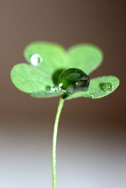Dew drop on clover :)
