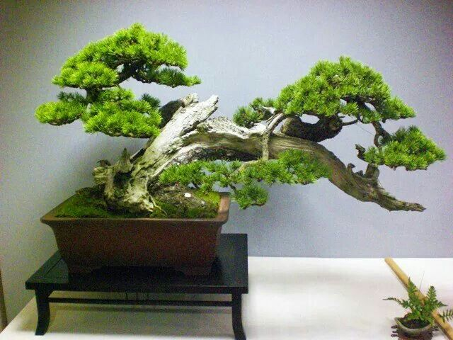 Die besten 20 kiefer bonsai ideen auf pinterest for Bonsai hydrokultur