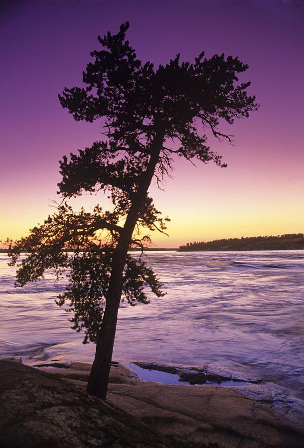 ✯ Pine Tree, Sturgeon Falls, Whiteshell Provincial Park, Manitoba