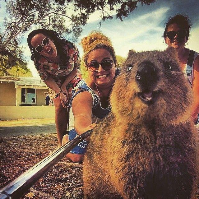 """""""В Instagram набирает популярность новый тренд – селфи с небольшим сумчатым квоккой. Маленький зверёк, который обитает в Австралии, конечно, не затмит по…"""""""